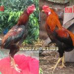 Perbedaan Ayam Bangkok Dan Ayam Kampung