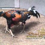 Ayam Bangkok Gombong Terpopuler Dari Indonesia