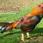 Jenis-Jenis Ayam Bangkok Suro