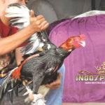 Merawat Dan Melatih Ayam Bangkok Agar Kebal Terhadap Pukulan