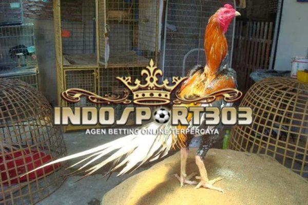 kepala ayam, ayam bangkok, kepala ayam bangkok super, sabung ayam, sabung ayam online
