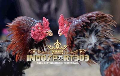 cara menang sabung ayam, agen sabung ayam terpercaya