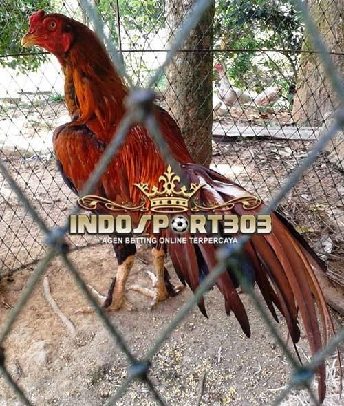 sabung ayam, sabung ayam online, berita sabung ayam, ayam bangkok, ayam aduan, ayam terkuat