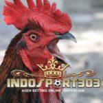 Cara Untuk Merawat Paruh Sabung Ayam Supaya Kuat