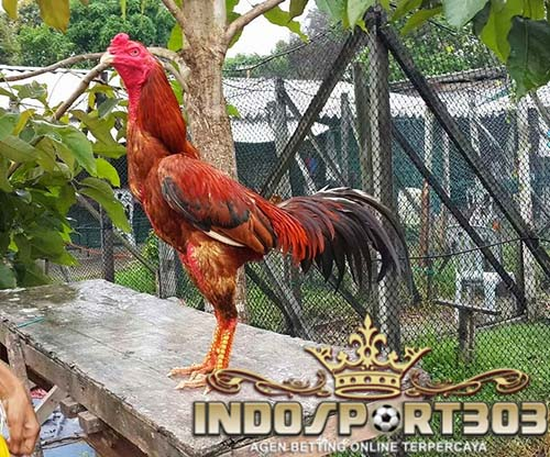 sabung ayam, sabung ayam online, agen sabung ayam, agen sabung ayam online, cara melatih ayam