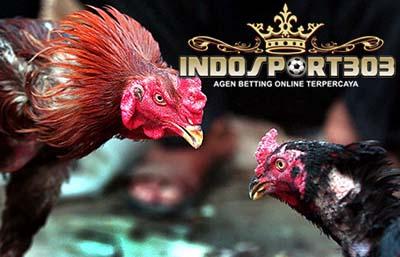 tips, meron, wala, sabung ayam, sabung ayam online, agen sabung ayam, agen sabung ayam online