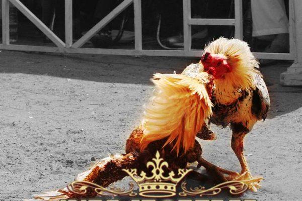 makanan penambah kekuatan, ayam aduan, sabung ayam, sabung ayam online