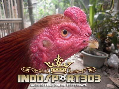 kepala ayam bangkok, ayam bangkok, sabung ayam, sabung ayam online