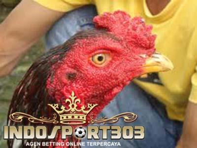paruh, sabung ayam, sabung ayam online