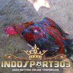 Tips Pengobatan Luka Ayam Aduan Setelah Bertanding