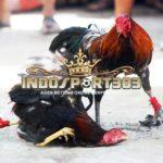 Sabung Ayam Online – Tiga Ayam Aduan Terbaik