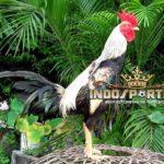 10 Jenis Sisik Ayam Bangkok Pukul Mati – Sabung Ayam Online