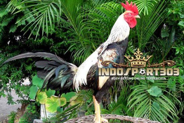 sabung ayam, sabung ayam online, agen sabung ayam, ayam bangkok, sisik ayam bangkok