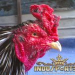 5 Jengger Ayam Bangkok, keunggulan dan kelemahannya