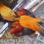 Kelebihan Ayam Bangkok Wiring Kuning