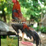 Manfaat Rumput Teki Untuk Ayam Bangkok