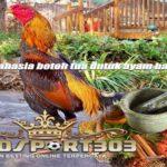 Lima Jamu Rahasia Botoh Tua Untuk Ayam Bangkok