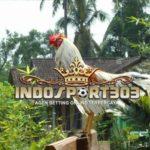 Ayam Aduan Lokal Unggul Asli Indonesia