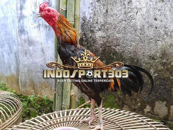 ayam aduan lokal, ayam bangkok, ayam indonesia, ayam bali, ayam banten, ayam aduan, ayam petarung, ayam laga