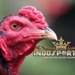 Ciri Kepala Ayam Bangkok Calon Juara