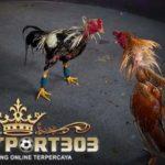 Ayam Bangkok Jagoan, Teknik Pukul Badan dan Pukul Dada