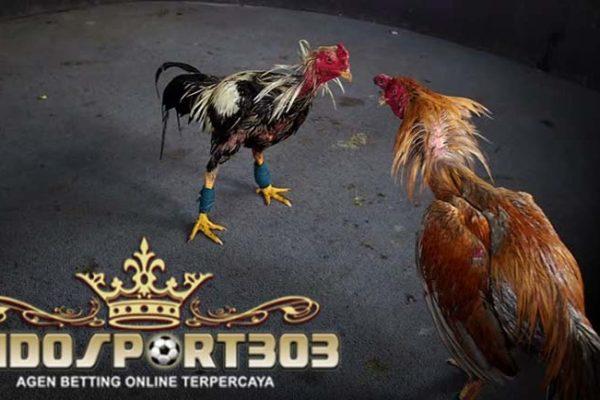 sabung ayam online, agen sabung ayam, ayam bangkok, teknik, pukul, pukul badan, pukul dada