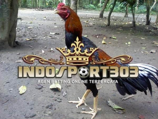 ayam bangkok, kelas, berat, ringan, kuat, asli, ayam laga, ayam aduan