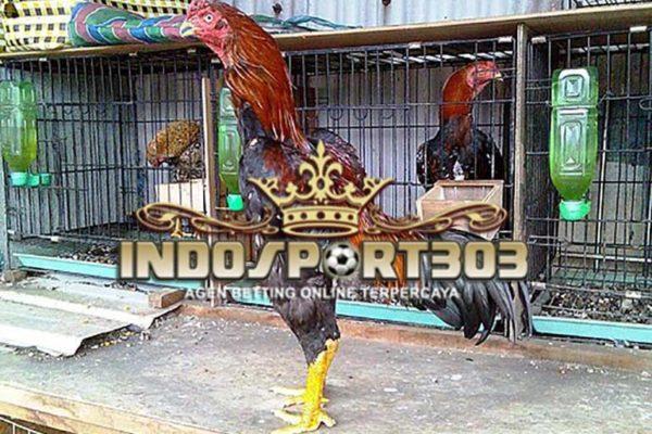 ayam bangkok kelas berat, ringan, kuat, asli, ayam laga, ayam aduan