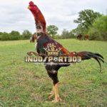 Tips Pakan Ayam Bangkok Berkualitas Sesuai Usia