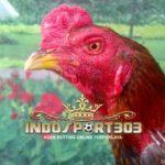 Ayam Panus Langka, Ciri Khas Ayam Kerajaan Thailand