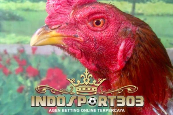 ayam panus, ayam bangkok, ayam raja thailand, thailand, bangkok, ayam petarung, ciri khas, jenis ayam bangkok