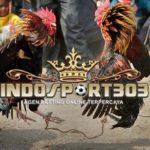 Persiapan Ayam Bangkok, 7 Ritual Sebelum Bertanding