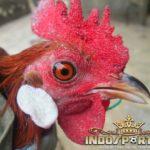 Cara Ampuh Atasi Congek Pada Ayam Bangkok – Sabung Ayam Online
