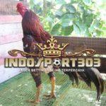 Rahasia Botoh Tua Ayam Bangkok Super