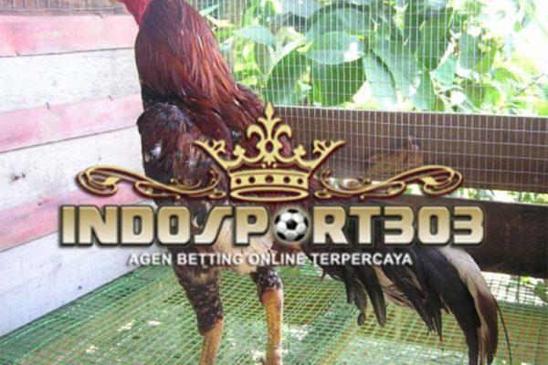 Ayam Bangkok Super, Sabung Ayam Online, Agen Sabung Ayam Online, Agen Betting Online