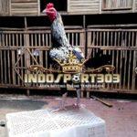 Ciri-Ciri Ayam Birma Asli Yang Wajib Anda Ketahui