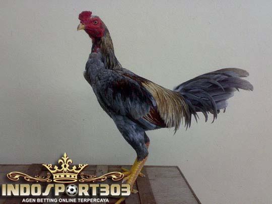ayam birma asli, ayam bangkok, sabung ayam online, agen sabung ayam online