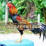 Keunggulan dan Kelemahan Ayam Petarung Brazil