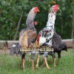 Perkembangan Sejarah Ayam Shamo Jepang