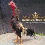 Cara Ampuh Mempercantik Ayam Bangkok