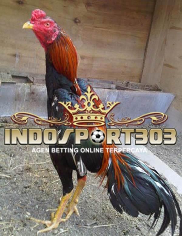 ciri, ayam bangkok, selalu menang, tips, laga ayam, ayam aduan