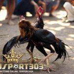 Ciri Ayam Bangkok Yang Selalu Menang – Sabung Ayam Online