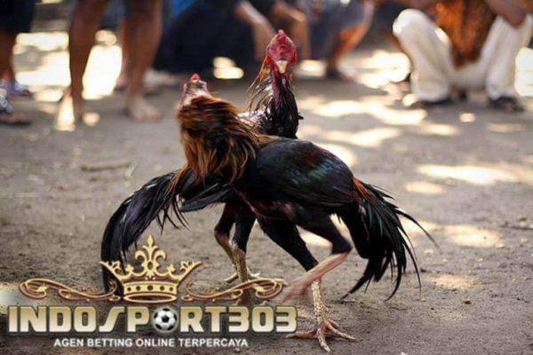 ciri ayam bangkok, selalu menang, tips, laga ayam, ayam aduan