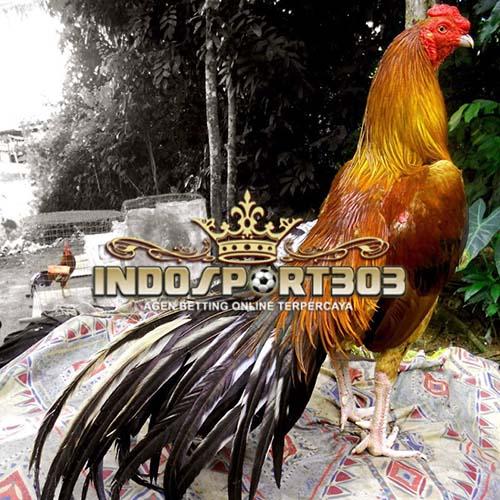 persiapan ayam bangkok, ayam bangkok, sabung ayam, sabung ayam online