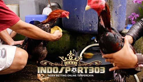 sabung ayam, sabung ayam online, cara memandikan, ayam bangkok, indosport303.com, agen sabung ayam