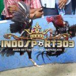 Sabung Ayam : Cara Memandikan Ayam Bangkok