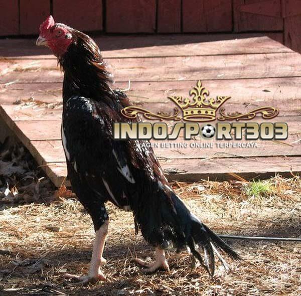 ayam aseel, ayam petarung, ayam laga, ayam aduan, ciri khas, jenis, asal usul