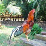 Perbedaan Ayam Bangkok Asli Dan Palsu