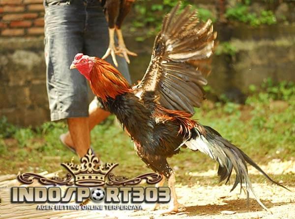 tips, memilih ayam bangkok, ciri khas, ayam petarung