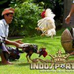 Buat Ayam Bangkok Anda Lebih Ganas Dengan Cara Ini!